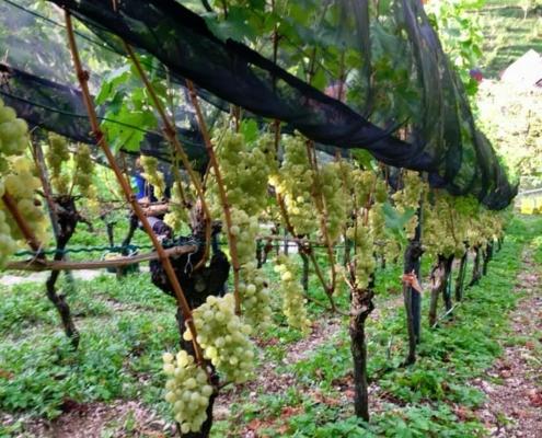 Pflege Weinstock